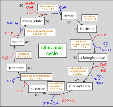 citric-acid-cycle-summary