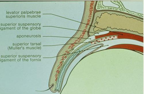上眼瞼の解剖図