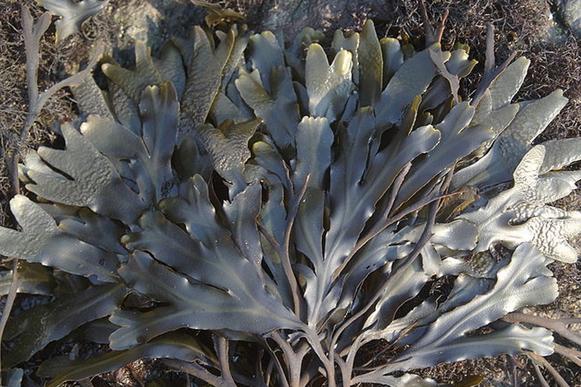 褐藻エキスの原料の海草