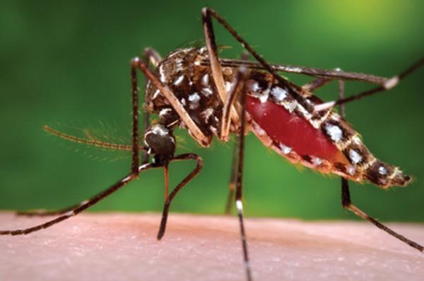 デング熱を媒介する蚊