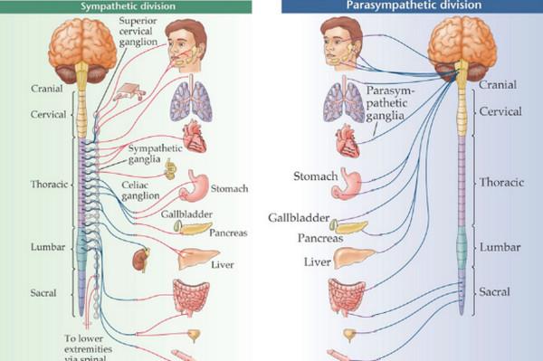 交感神経と副交感神経
