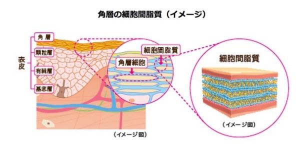 角質細胞間脂質セラミド