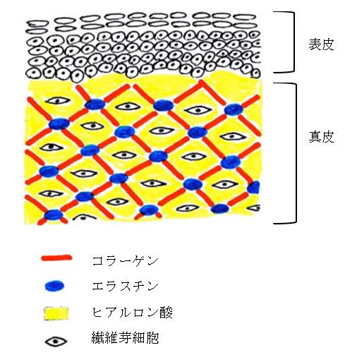 皮膚の模式図
