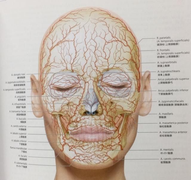 顔の動脈(出典:グラフィックス フェイス 臨床解剖図譜
