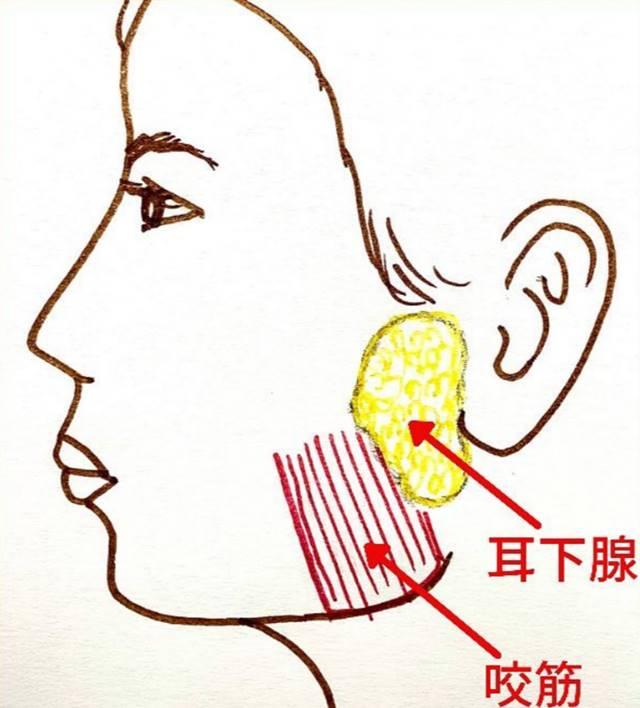 咬筋のすぐ近くに耳下腺という唾液を出す腺があります