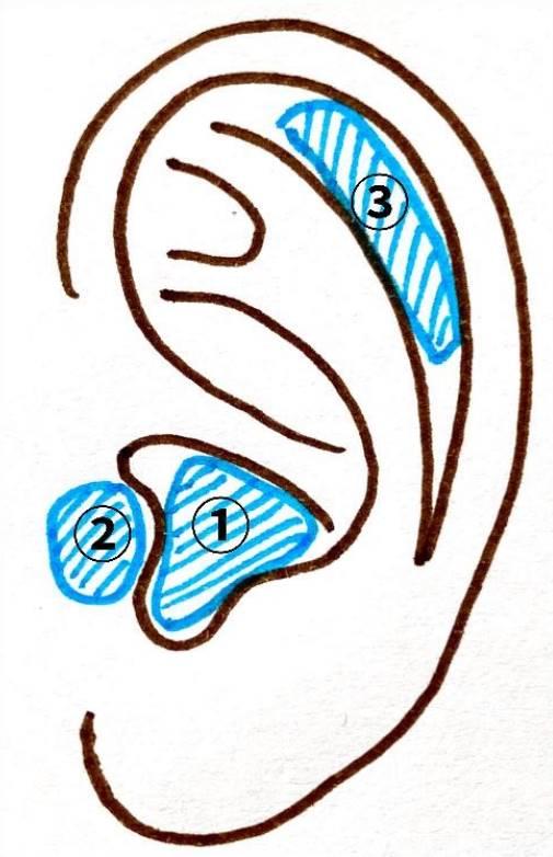 耳の軟骨 ①耳甲介(じこうかい) ②耳珠(じじゅ) ③舟状窩(しゅうじょうか)