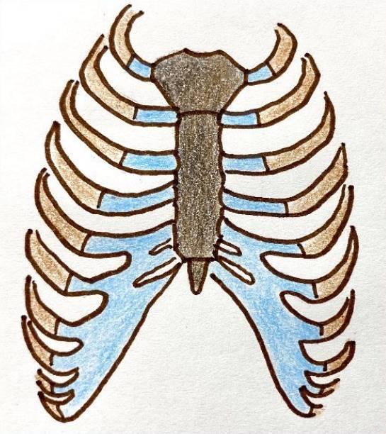 胸の軟骨 青色:肋軟骨(ろくなんこつ) 茶色:肋骨(ろっこつ) 黒色:胸骨(きょうこつ)