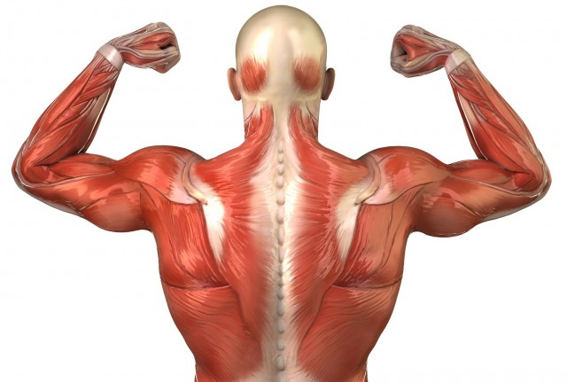 muscles-anatomy-back_jpg__2266×1851_